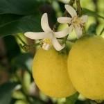 limon genova